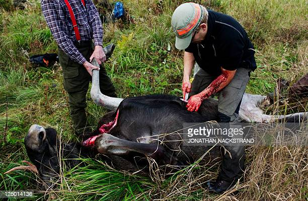 Hunters cut open a shot moose during the hunting season in the forests near Nedansjoe west of Sundsvall Sweden on September 10 2011 In Sweden hunting...