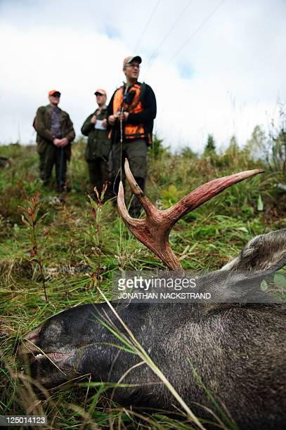 Hunters stand behind a shot moose during the hunting season in the forests near Nedansjoe west of Sundsvall Sweden on September 10 2011 In Sweden...