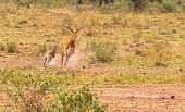 Hunting cheetah. Masai Mara, Kenya
