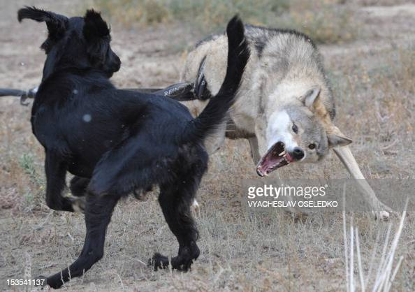 A hunting dog attacks a wolf during the hunting festival 'Salburun' in the village of Bokonbayevo some 300 km outside Kyrgyzstan's capital Bishkek on...