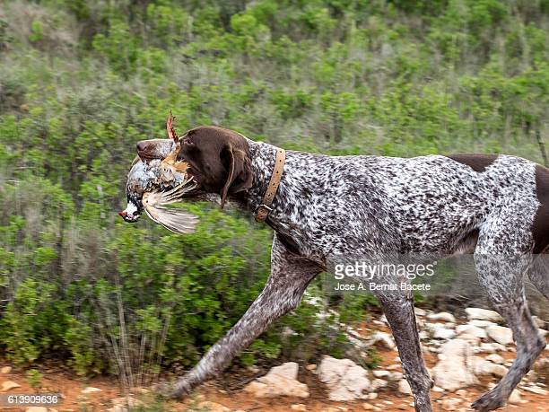 Hunting dog with a partridge in the mouth, (German Shorthaired Pointer)