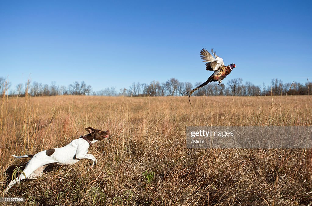 Hunting Dog With Rooster Pheasant Flushing Out of Grass Field.