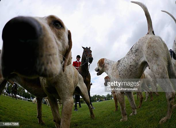 Hunting hounds and Huntsman are pictured prior to The Carpetright Derby during the British Jumping Hickstead Derby Meeting on June 24 2012 in...