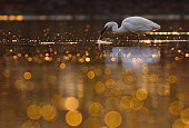 The little egret in beautiful bokeh pond.
