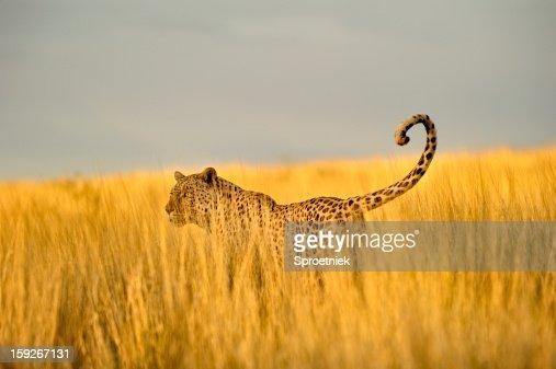 Hunting leopard in tall Kalahari grass : Stock Photo