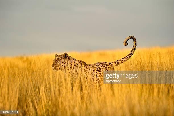 Léopard de chasse en tailles herbe du Kalahari