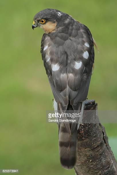A hunting male Sparrowhawk.