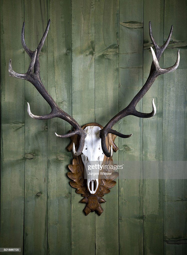 Hunting trophy, 14-point-antlers, mounted red deer antlers on a wooden wall