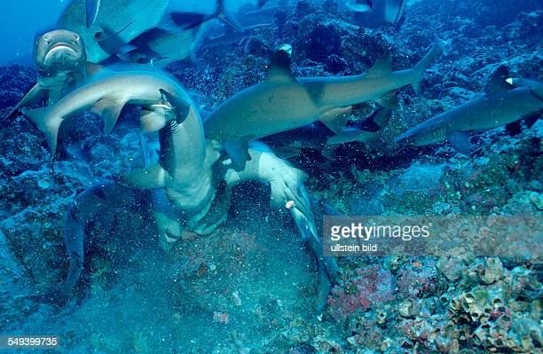 Hunting Whitetip reef shark and scuba diver Triaenodon obesus Costa Rica Pacific Ocean Cocos Island Latin america