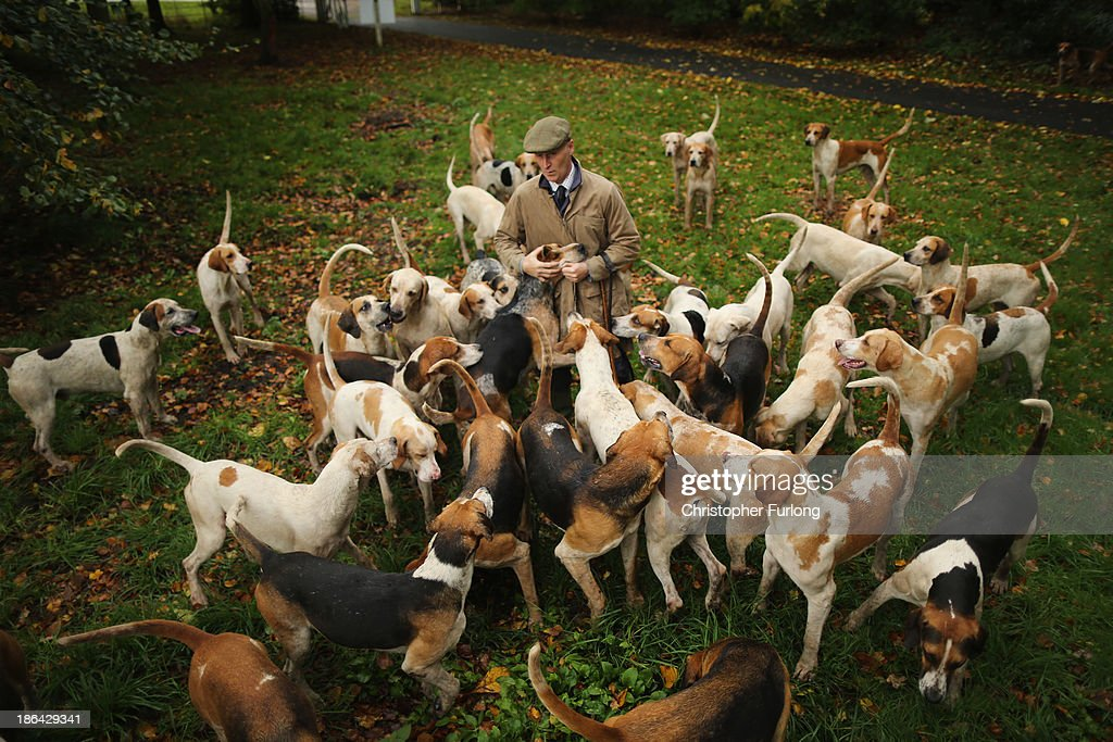 Huntsman Andrew German of The Cheshire Forest Hunt exercises his hounds in the autumnal countryside in preparation for the start of the new hunting season on October 31, 2013 in Knutsford, United Kingdom. The hunting season traditionally starts near to November 1st. Although a ban on hunting has been in force since February 2005 many supporters of fox hunting are continuing to call for a repeal of the ban, saying the current law is hard to interpret and enforce.