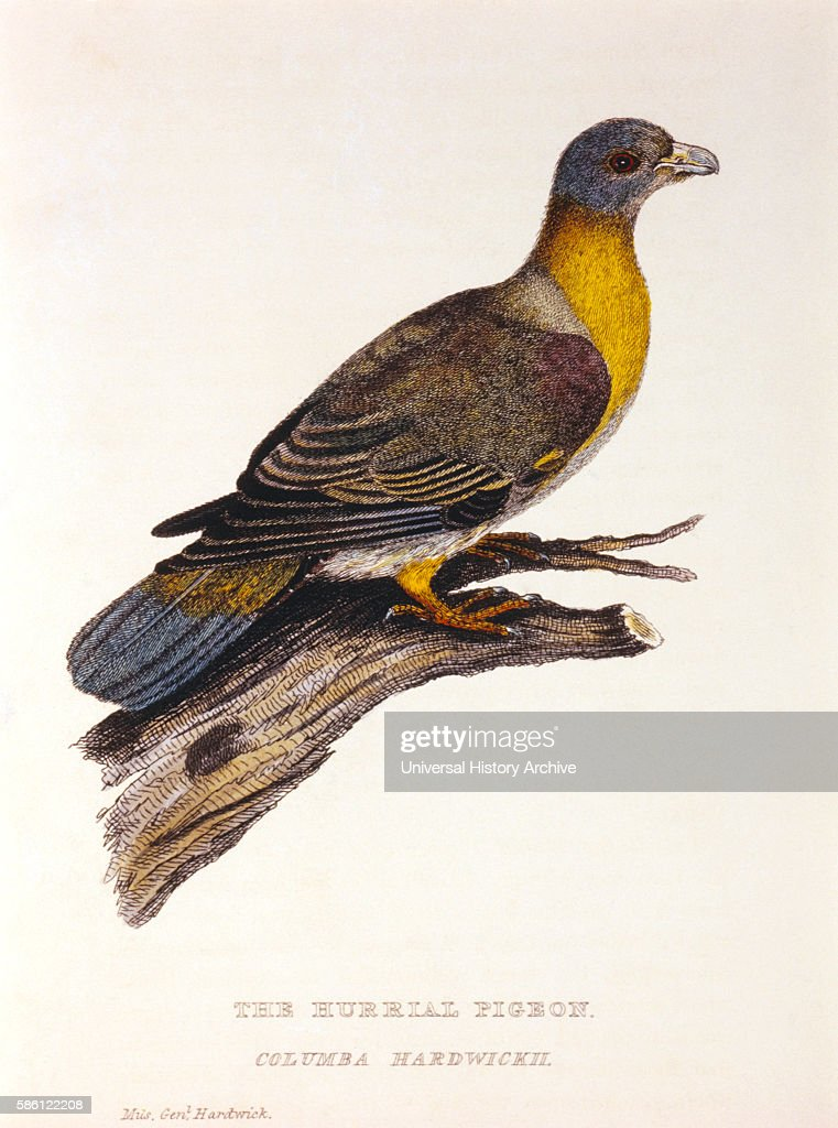 Hurrial Pigeon Columba Hardwickii HandColored Engraving from Original by Baron Cuvier circa 1829