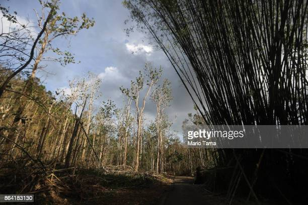 Hurricane damaged trees stand on October 20 2017 in Utuado Puerto Rico Today is the one month anniversary of Hurricane Maria Only 1233 percent of...