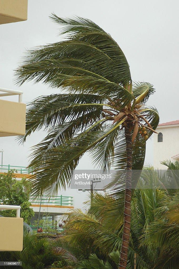 Hurricane palm 3