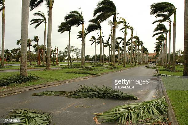 hurricane palms