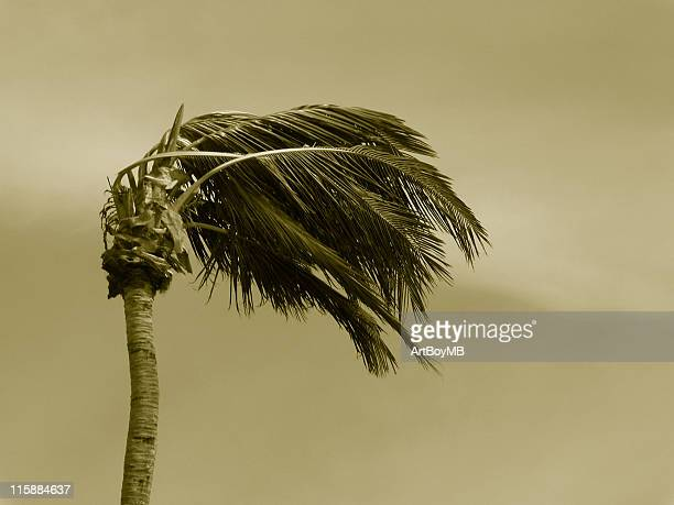 Hurricane palms Sepia