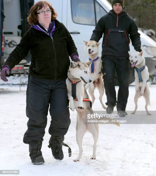 Huskies are moved into position prior to training in the forests near Feshiebridge for the 30th Siberian Husky Club Aviemore Sled Dog Rally being...
