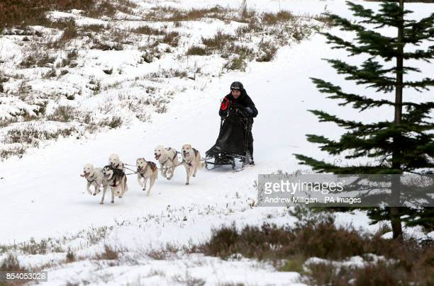 Huskies during training in the forests near Feshiebridge for the 30th Siberian Husky Club Aviemore Sled Dog Rally being held this weekend at Loch...