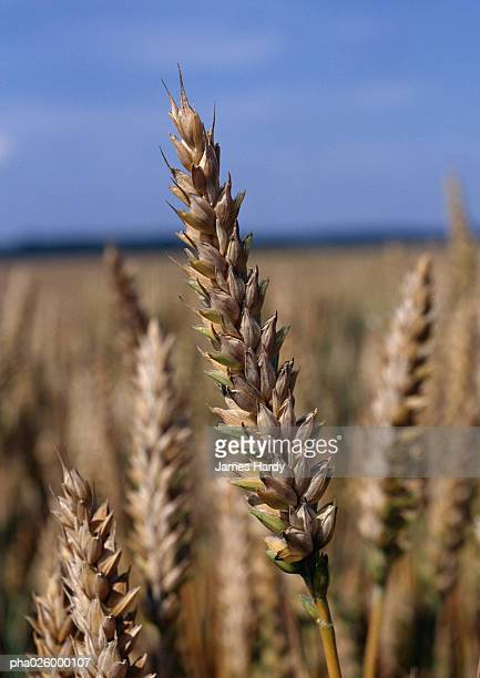 Husks of wheat in field, close-up, blue sky in background.