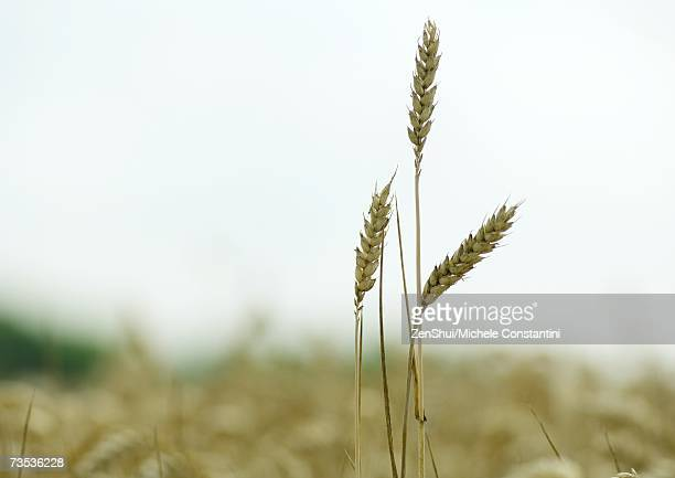 Husks of wheat