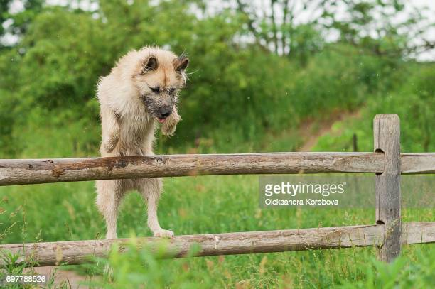 Husky and Irish Wolfhound mix dog jumping a wooden fence while on a walk in the park. Young mutt has a gleeful expression on his face.