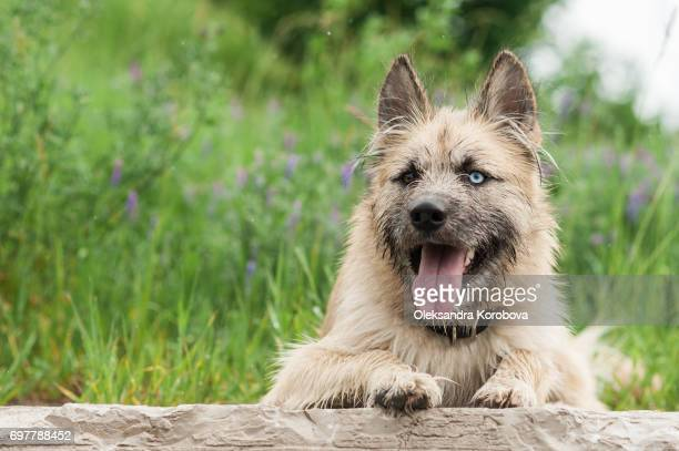 Husky and Irish Wolfhound mix dog looking at the camera while on a walk in the park. Young mutt has a gleeful expression on his face.