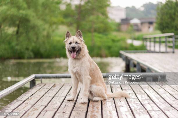 Husky and Irish Wolfhound mix dog sitting on a dock by the water while on a walk in the park. Young mutt has a gleeful expression on his face, looking at the camera.