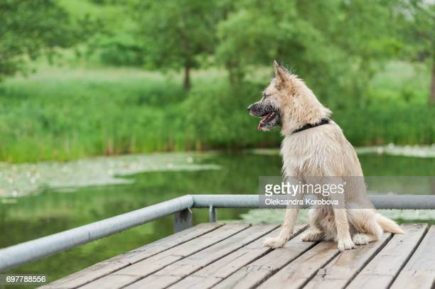 Husky and Irish Wolfhound mix dog sitting on a dock by the water while on a walk in the park. Young mutt has a gleeful expression on his face.