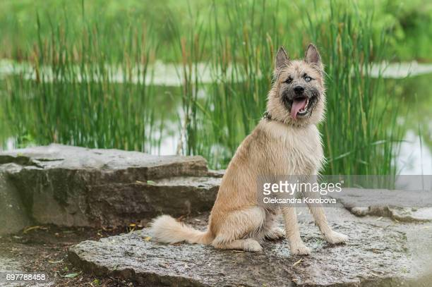 Husky and Irish Wolfhound mix dog sitting on a rock by the water while on a walk in the park. Young mutt has a gleeful expression on his face, looking at the camera.