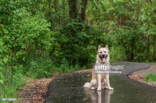 Husky and Irish Wolfhound mix dog while on a walk in the park. Young mutt has a gleeful expression on his face.