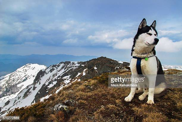 Husky dog in a mountain