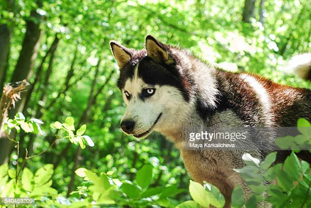 Husky dog in green woodland