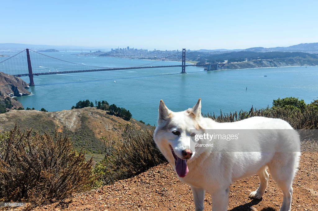 Husky dog with Golden Gate Bridge in San Francisco Bay : Stock Photo