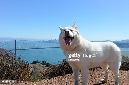Husky dog with Golden Gate Bridge in San Francisco Bay : Stock Photo