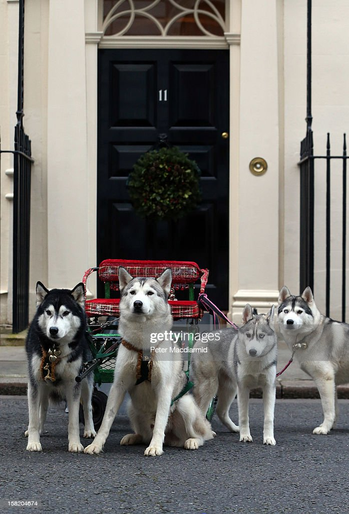 Husky dogs get ready to entertain children at Number 11 Downing Street on December 11, 2012 in London, England. Chancellor of the Exchequer George Osborne is hosting his yearly Christmas party for the Starlight charity.