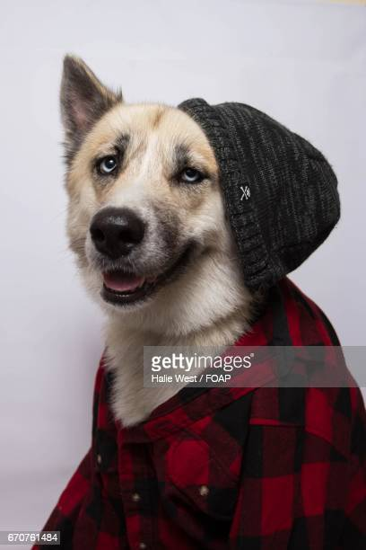 Husky dressed in casual clohting