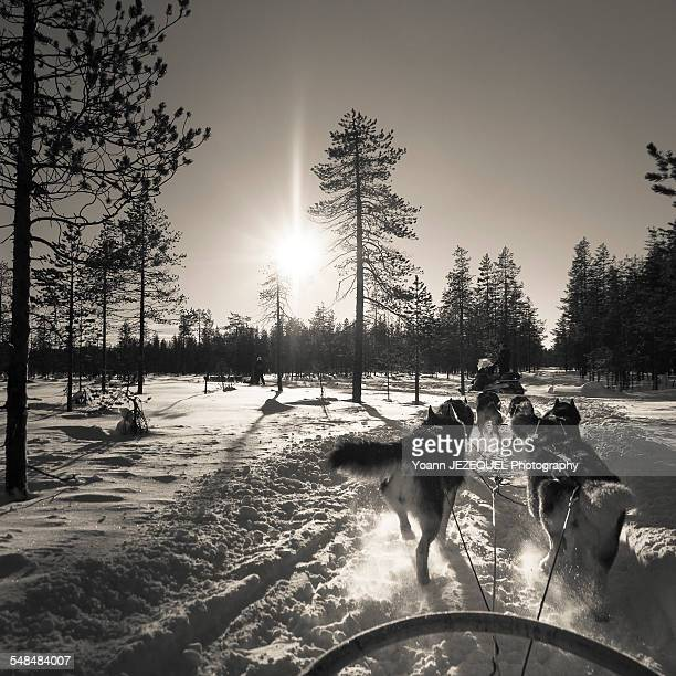 Husky in Lapland, Finland