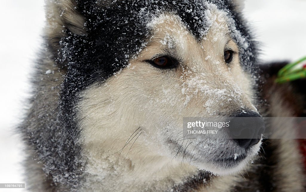 A husky is pictured prior to the dog sledding event in Liebenscheid, Germany on January 20, 2013. About 40 musher and over 120 dogs take part in the dog sledding event at the Westerwald. AFP PHOTO / THOMAS FREY GERMANY OUT