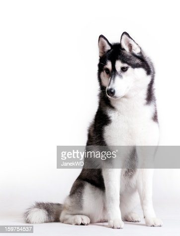 Husky on white