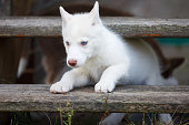 White husky puppy is crawling between the steps