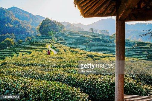 hut with tea fields : Stock Photo
