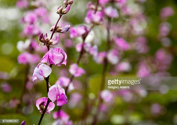 Hyacinth bean blossoms