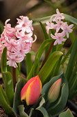 Hyacinth Blossoms and Emerging Tulips