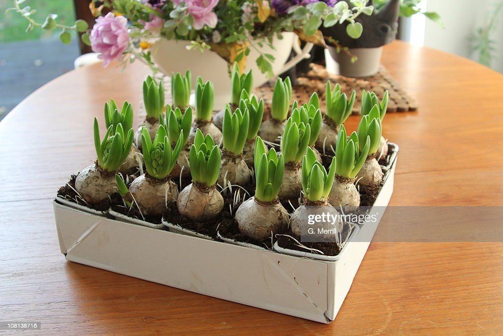 Hyacinth bulbs : Stock Photo