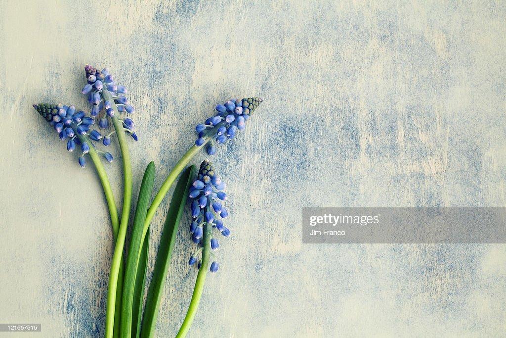 Hyacinth : ストックフォト