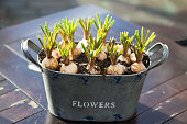 Sprouted bulbs of plants in pots on the background. Selective focus, backlight