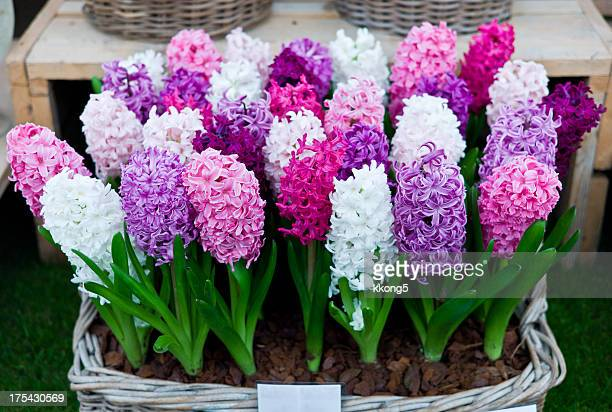 Hyacinthus Orientalis sale and display stand