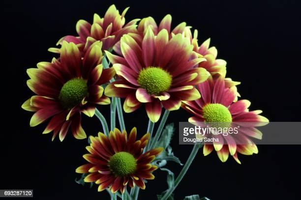 Hybrid daisy bouquet