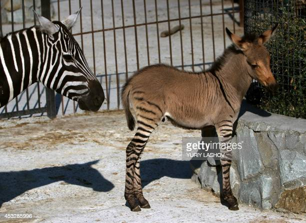 A hybrid of zebra and a donkey stands near his mother at the Taigan zoo park outside Simferopol on August 5 2014 A Crimean zoo has welcomed into its...