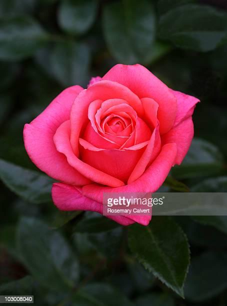 Hybrid pink rose variety 'Showtime'.