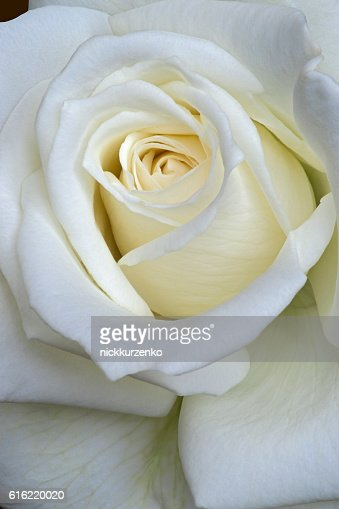 Hybrid rose flower : Stock Photo